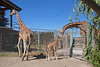 Dad, Floyd/Sam checks out his new daughter, Erin.  Mom, Kristin, is on the left. (Reticulated Giraffes)