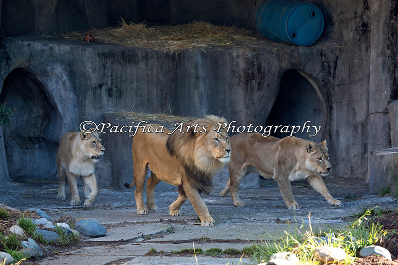 The African Lions head out to find the hidden treats in their yard. (l-r : Sukari, Jahari & Amanzi)
