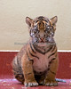 5 weeks old Sumatran Tiger cub, Jillian - and she's as cute as a button!  Hey, speaking of buttons, did you get your button with the baby tiger on it yet?  The Docents are selling those and many other animal buttons as a fundraiser this year!  The money will be donated to buy the gorillas hammocks.