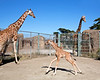 Reticulated Giraffes, Kristin (on left) and Floyd/Sam (on right) with their week old baby, Erin, running around in between.