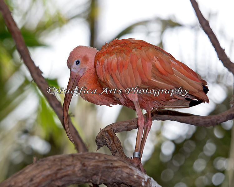 Scarlet Ibis in the South American Aviary building.