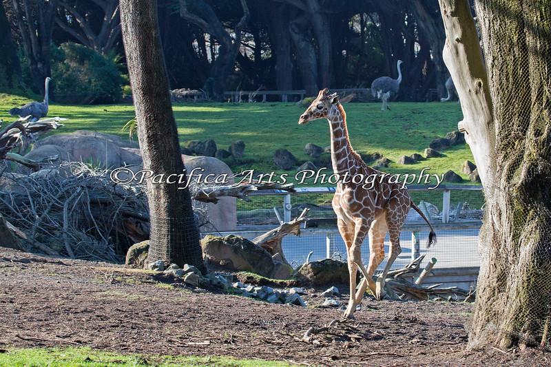 Erin, a young Reticulated Giraffe, gallops around the African Savanna exhibit.