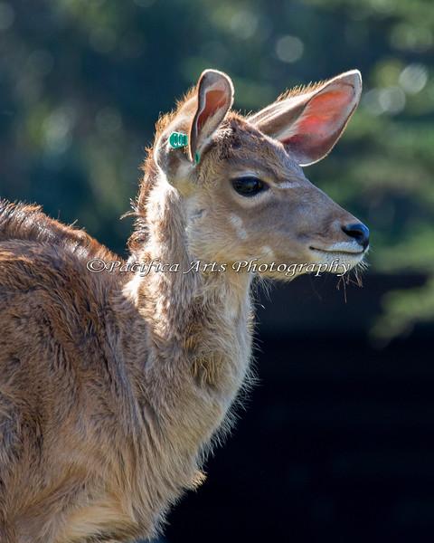 Baby Kudu! (Greater Kudu)