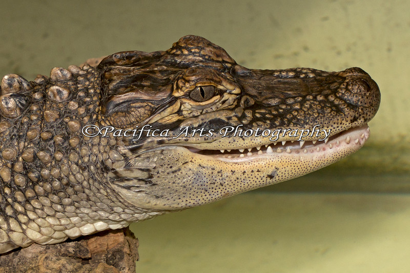 """Headstudy of """"Miles"""", a young American Alligator"""