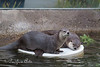 Trent and Kelly having fun on their floating disk (North American River Otters)