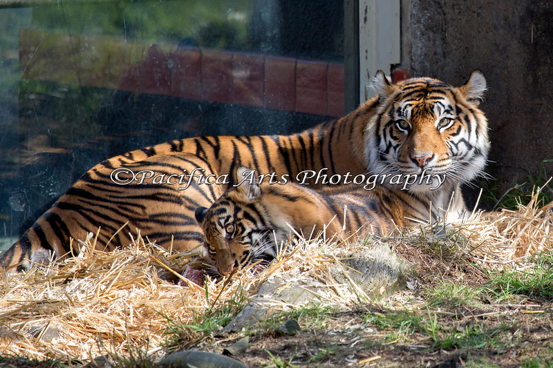 Mom, Leanne keeps watch, while her cub, Jillian chews on a bone. (Sumatran Tigers)