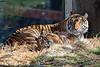 Mom, Leanne keeps watch, while her cub, Jillian chews on a bone. (Sumatran Tigers)