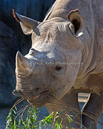 Boone, a Black Rhinoceros, nibbling on some acacia leaves