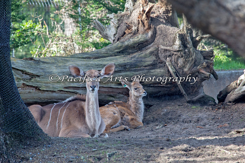 Mom and baby snuggling down for an afternoon nap. (Greater Kudu)