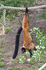 Upside-down snacking. (Red Ruffed Lemur)