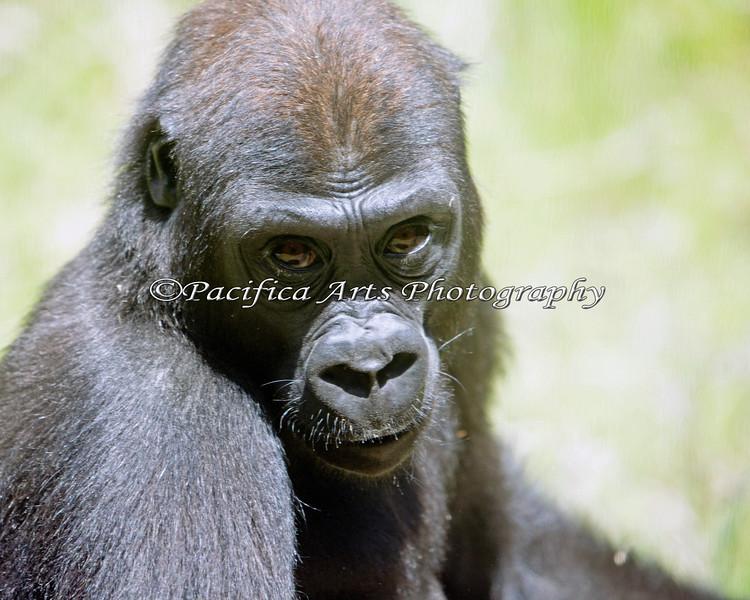 Such a cutie!  (Hasani, a 4 1/2 year old Western Lowland Gorilla)