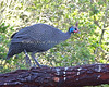 Helmeted Guineafowl in the African Aviary