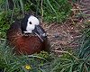 Have you ever seen a duck smile?  Well, now you have!  (White-faced Whistling Duck)  And yes, this duck can whistle too!