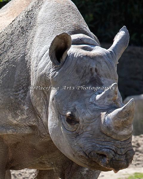 Black Rhinoceros - Elly