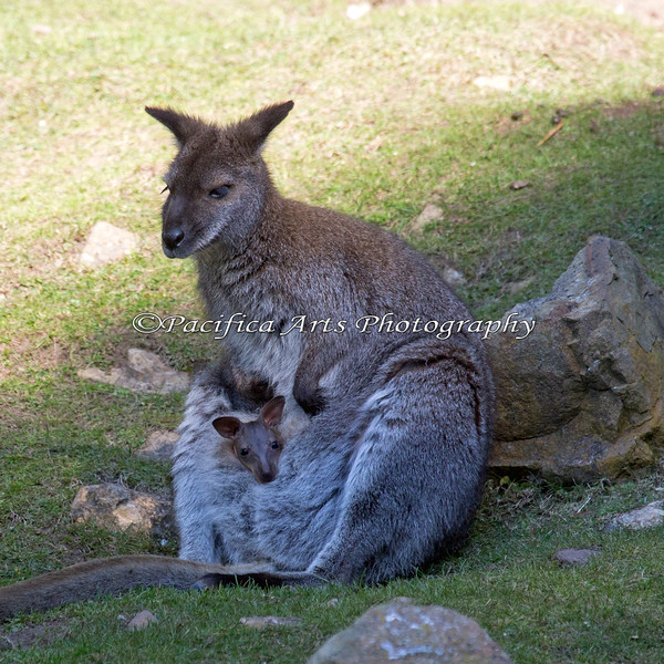 Here's the new little Joey, just peeking out of Mom's pouch.