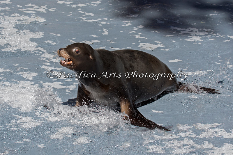 """Henry"", a California Sea Lion is having great fun sliding around in the shallow water.  The pool had been cleaned, and the Keepers were filling it up again.  There was just enough water to make great splashes!"