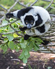 Black & White Ruffed Lemur playing on the ropes.