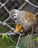 A little Squirrel Monkey on the ropes