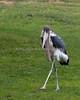 Marabou Stork, struttin' his stuff.
