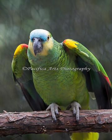 Blue Fronted Amazon, Maya, shows off her pretty wings.
