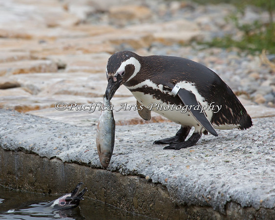 """""""Would you like fries with that?""""  (Magellanic Penguins)"""