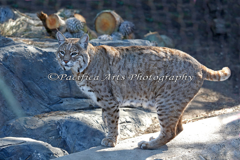 The rest of Inti, the Bobcat.  His tail is always flicking back and forth.
