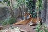 Jillian, looking very regal.  (Sumatran Tiger cub)