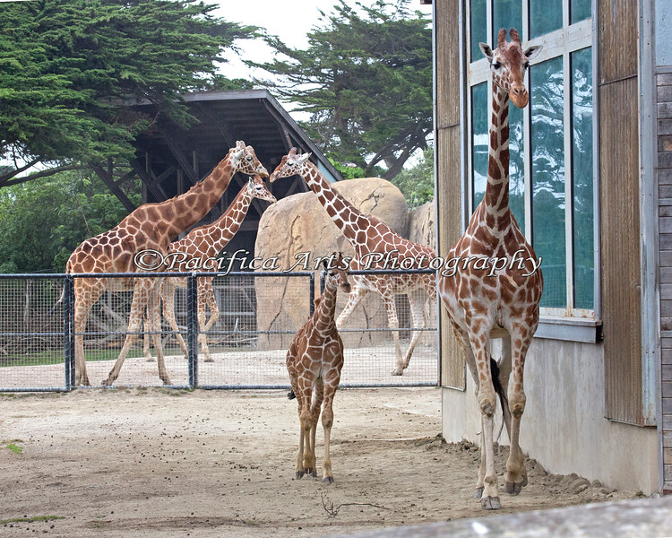 Youngster, Erin, with Kristin, Floyd, Eve & Bititi (Reticulated Giraffes)