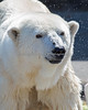 Pike, the Polar Bear