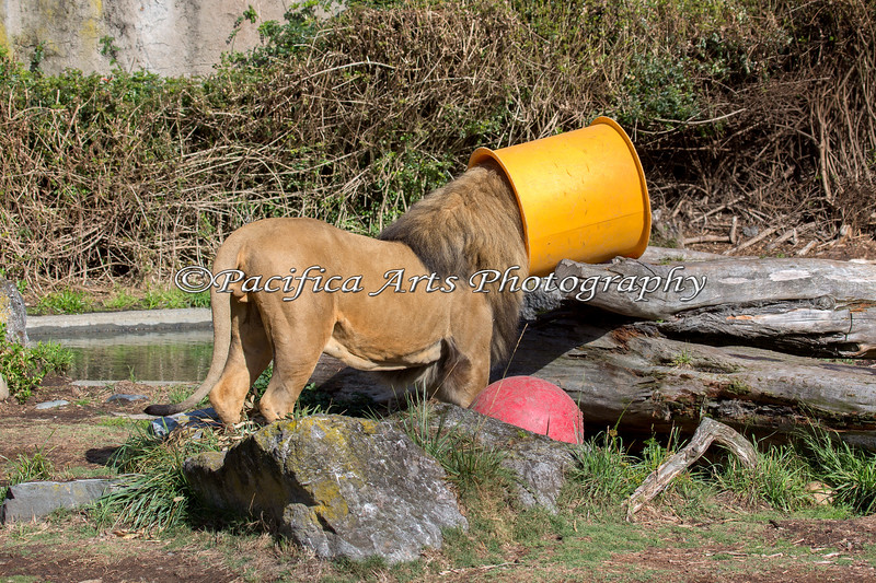 Jahari has discovered something tasty, hidden in the tube! (African Lion)