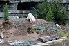 Polar Bear, Uulu, climbs down from the new mountain the Zoo made for her to play in.