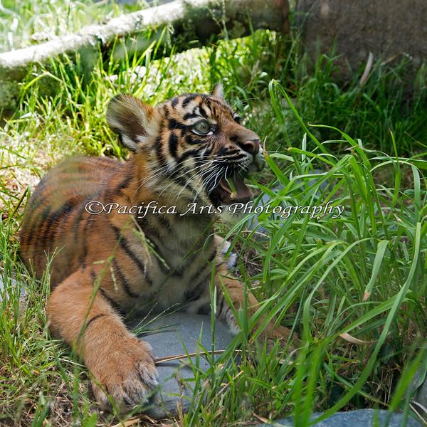 Jillian tries munching on grass. (Sumatran Tiger)