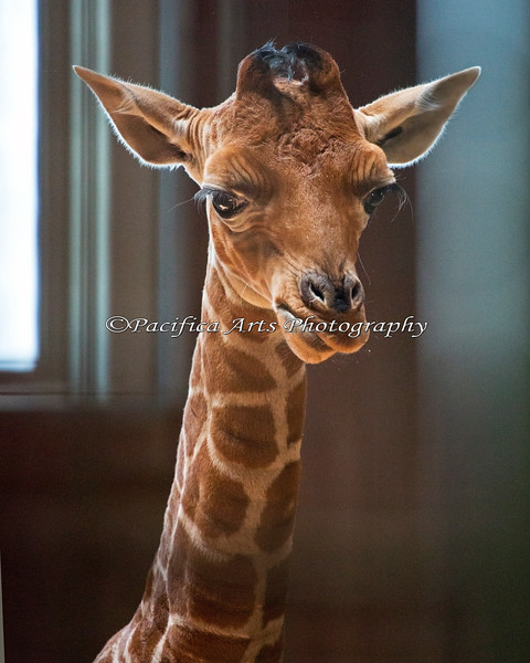 Erin (Reticulated Giraffe), 12 days old.