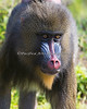 Mandrill - female