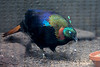 Himalayan Monal or Impeyan Pheasant - male