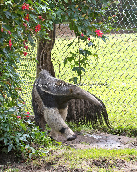 The younger Giant Anteater, is just about full size now.