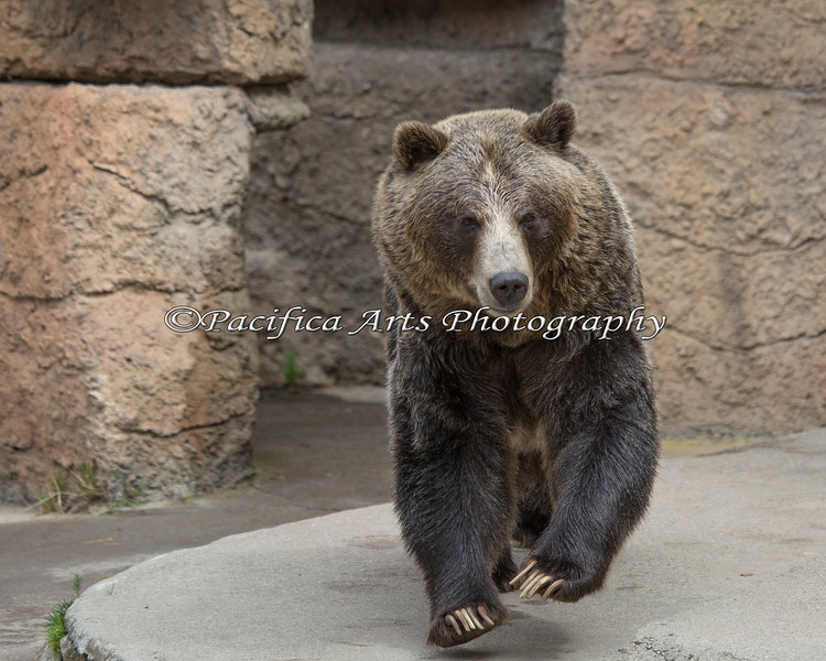 Here comes Kiona! (Grizzly Bear)