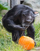 Maggie, a female Chimpanzee finds tasty pumpkin seeds in her pumpkin.