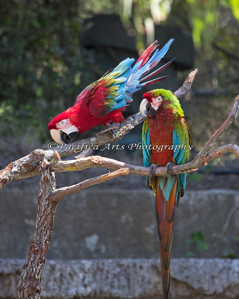 Green-winged Macaw & and Hybrid Macaw, Peppy and Irene
