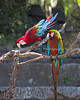 Green-winged Macaw & and Hybrid Macaw, Pepe and Irene