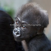 Always alert, this little 3 month old wants to see everything!  (female, Western Lowland Gorilla)