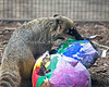 This female, Brown-nosed Coati, searches for treats in her giant Easter Eggs during the Big Bunny's Spring Fling event.