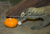 You didn't think he was going to eat the pumpkin, did you?  (Komodo Dragon, Big Daddy Bahasa)