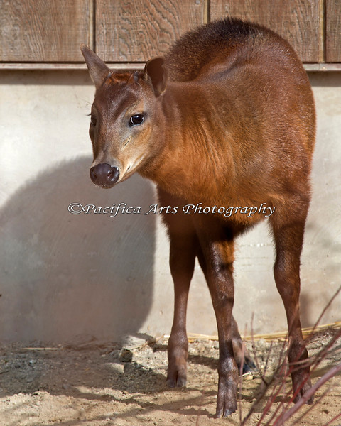 """Yellow-backed Duiker, """"Josie"""" - Juvenile female, about 3 months old"""