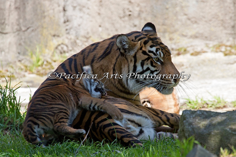 Moms make great pillows!  (Sumatran Tigers)