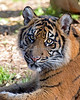 Not-so-little Jillian, a Sumatran Tiger cub.