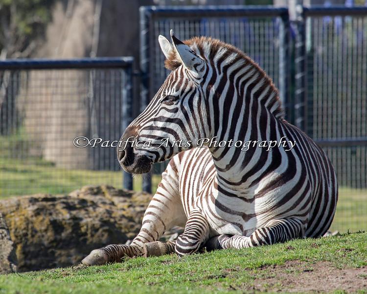 Grant's Zebra, taking it easy on the grass.
