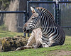 Grant's Zebra, taking it easy on the grass.