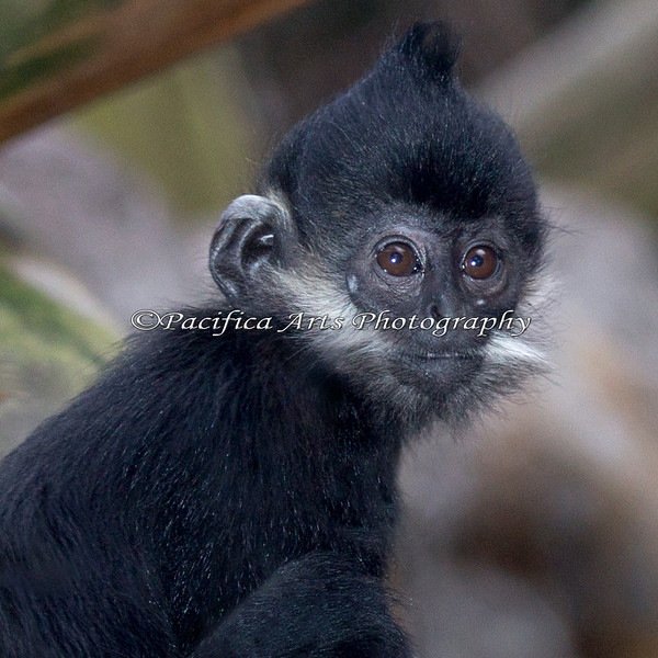 A close-up of Romo, a young Francois' Langur.  He's just a few days short of 6 months here.