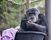 Cobby, a Chimpanzee, finds a special treat (baked by the Keeper) in one of the Easter boxes.